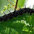 Paon du jour (Inachis io) - chenille