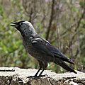 Corvus Maneduda