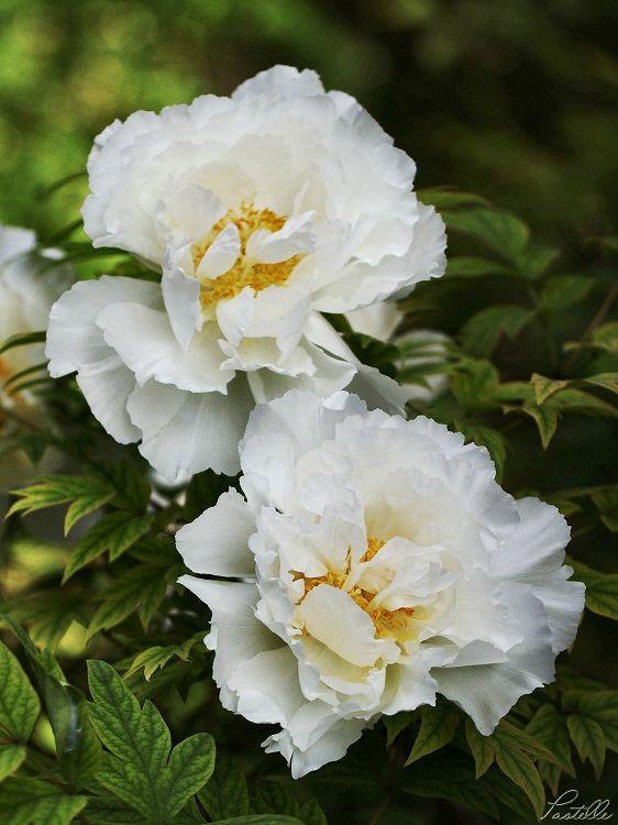 Pivoines blanches r_13 14 05_2641