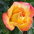 Rose 2105167