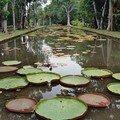 Victoria amazonica - Pamplemousses - Ile Maurice