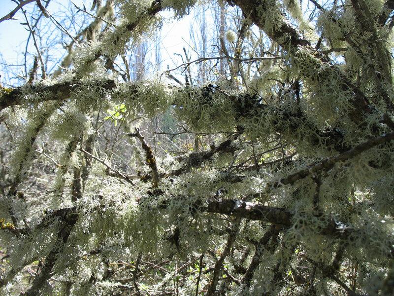Larrosa, arbre
