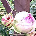 Rose et fer