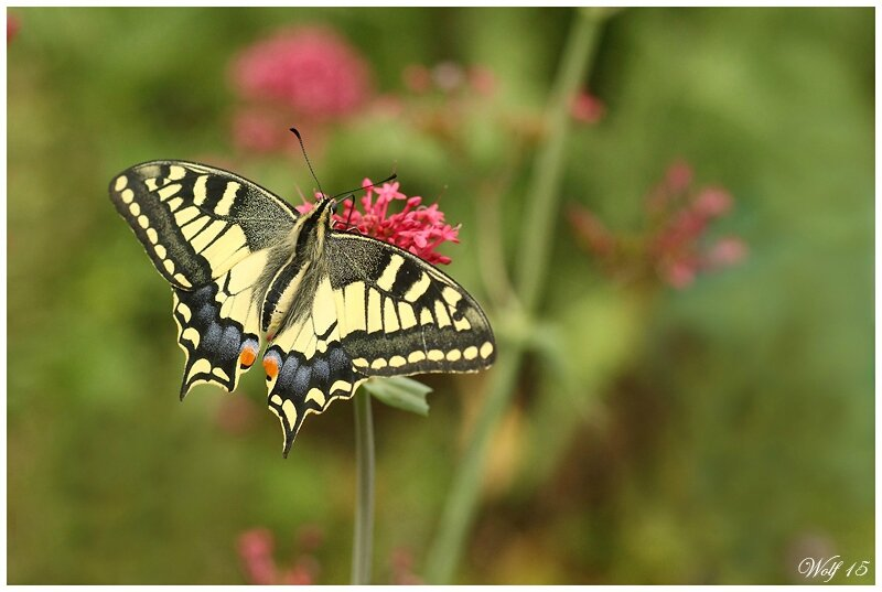 machaon15-02