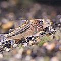 Corydoras (non identifié) juvénile