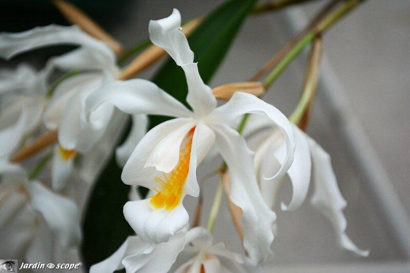 Orchidée-275