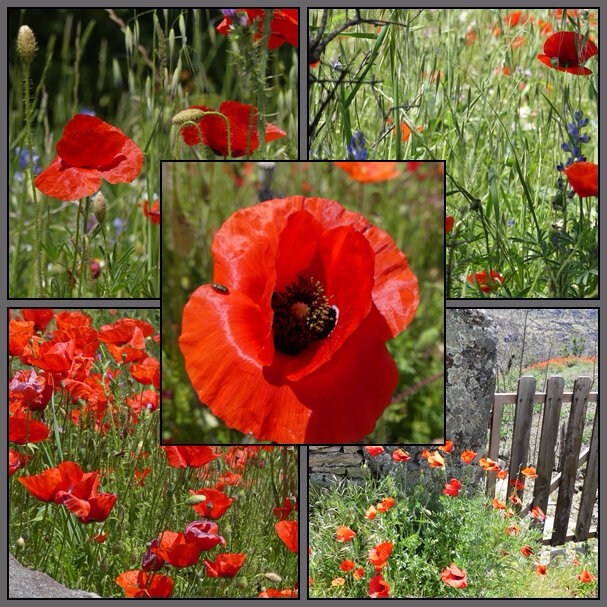 coquelicots page