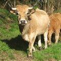 Les vaches et les veaux