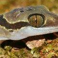 Cyrtodactylus intermedius