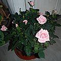 Arrivée d'un rosier miniature et d'un phalaenopsis
