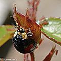 Coccinelle se gavant de pucerons