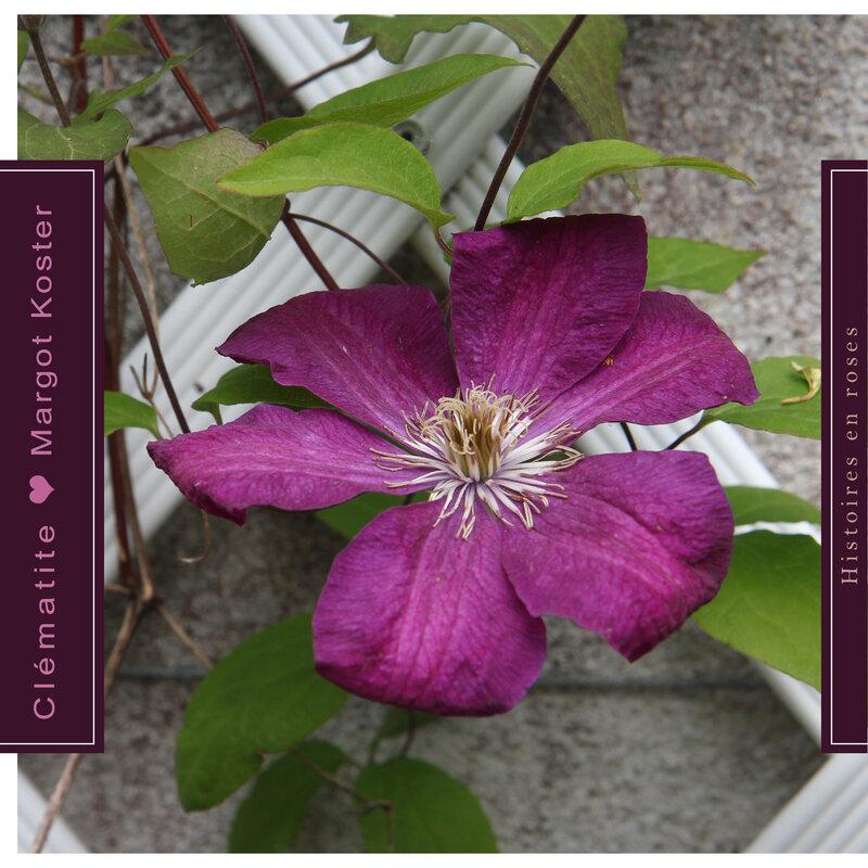 clématite en fleurs____