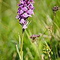 Orchis de Savoie - Dactylorhiza savogiensis (1)