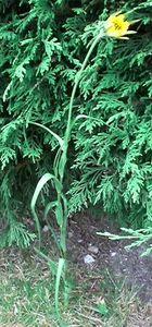 Tragopogon pratensis 2