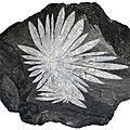 Chrysanthème Stone