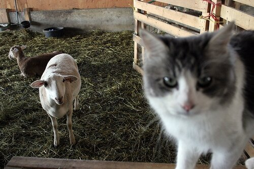cat_and_lamb