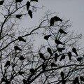 corbeaux dans l'arbre nu