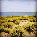 Courant d'Huchet, sur la dune, océan et immortelles des dunes, insta (40)