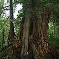 Clément devant le big Cedar !
