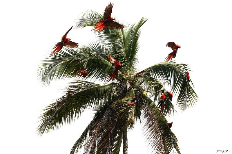 palmier aux aras