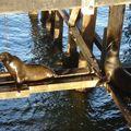 Autour de Monterey, phoques..........