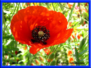 13_FLEURS_SAUVAGES_PROVENCE_COQUELICOT