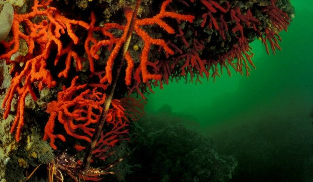 Corail-rouge