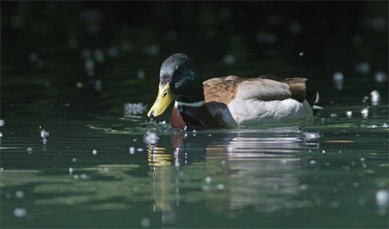 oiseau canard colvert graines eau 030521 17 ym