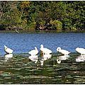 Lac Cygnes et Héron 01101510