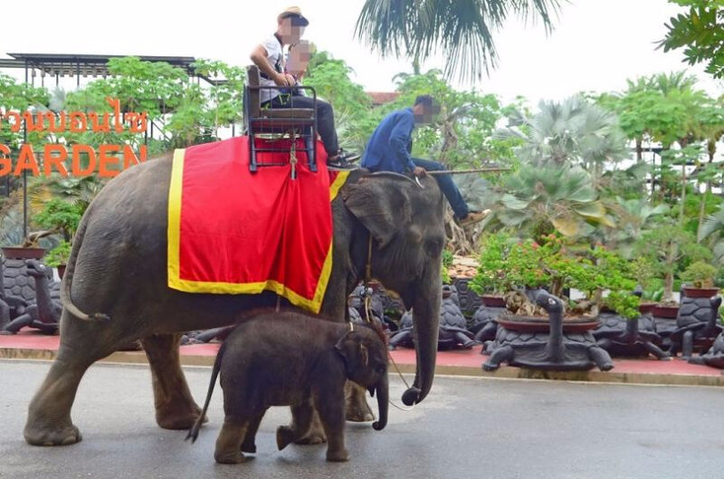 elephants_used_to_entertain_tourists_at_cruel_attraction_in_thailand-810x536