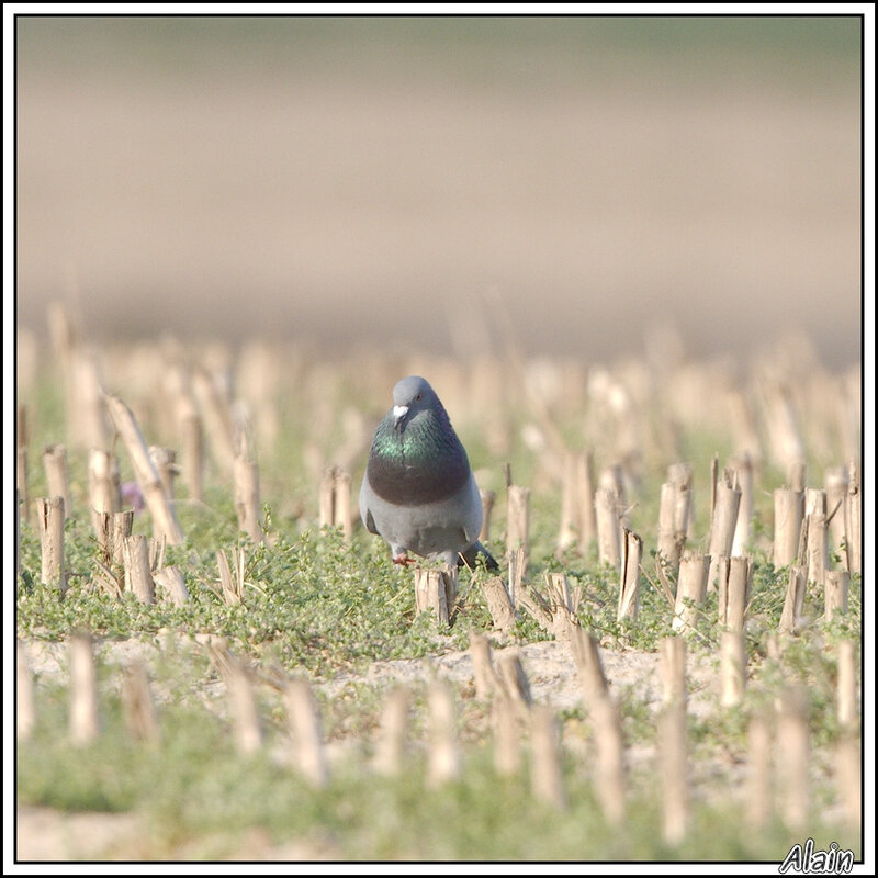 Pigeon biset féral