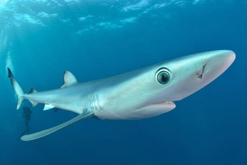 Requin-bleu-1