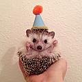 Biddy the hedgehog - instagram