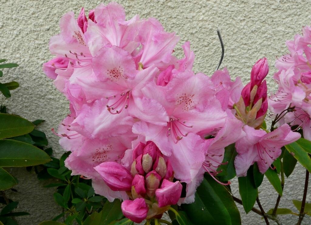 05 - Rhododendron (4)