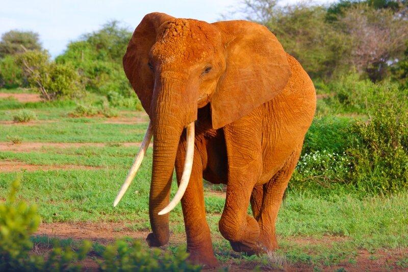Elephant Alessandro Desantis