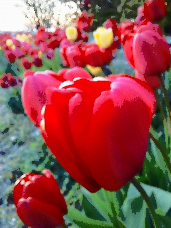 les tulipes du jardin de hurtebise