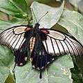 Grand mormon - Papilio lowi