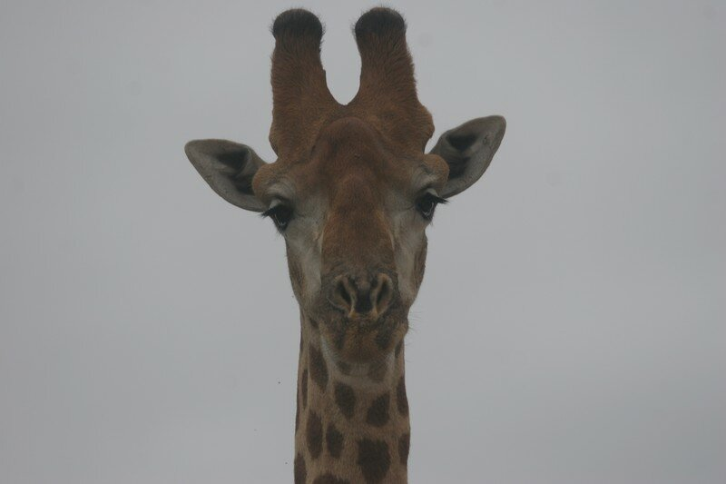 Girafe (4)