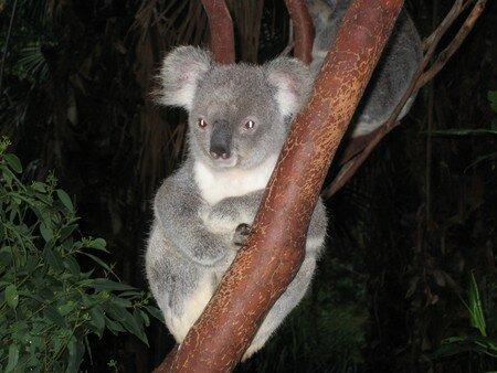 je_suis_le_plus_beau_koala