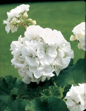 Geranium_Blanc