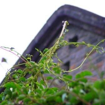 d_tail_plante_grimpante
