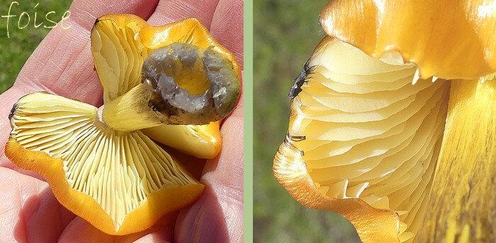 lames jaune pâle semi-libres ventrues relativement serrées