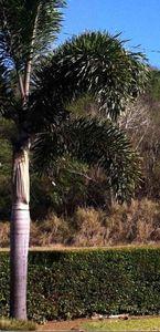 Palmier inconnu