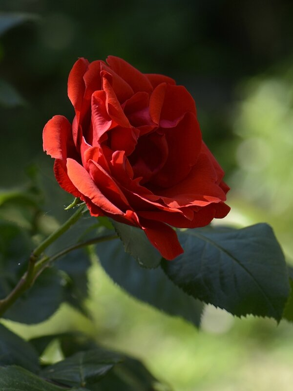 Rose rouge 6