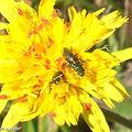 Insectes minuscules rouges sur Tolpis succulenta (Madère 2008)