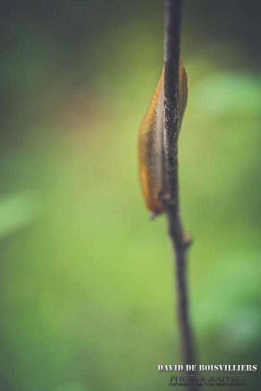 La limace