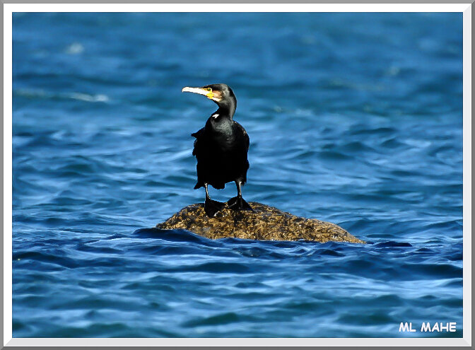 CORMORAN PHOTO ML MAHE
