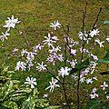 Magnolia étoilé 190316