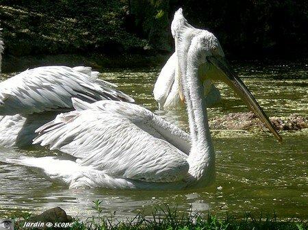 6520_Pelican