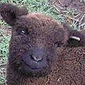 Babydoll Sheep 2